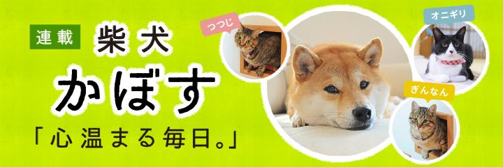 柴犬かぼすちゃん
